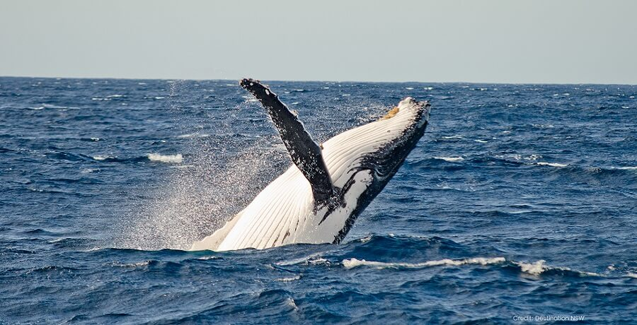 Humpback Whale - Whale Watching Tour
